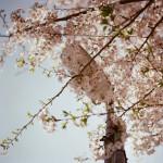 去年以前の桜
