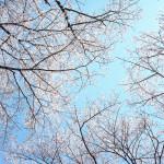 2013 桜が舞った日