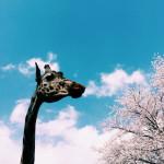 iPhoneアプリの「VSCO cam」で撮って現像した桜の写真